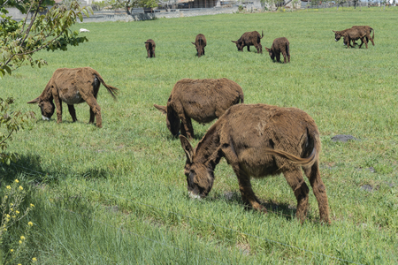 Dark brown donkeys in the meadows of the Murgia. Puglia. Italy