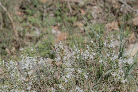 Wild Thyme , Thymus serpyllum, planted with white blossoms, sloping, slim, ramous sloping stems. Small leaves. Small flowers. Color varies from white to pink to violet. The flowering takes place between April and September. Cilento. Italy