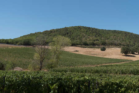 View of the Grappoli, the vines and the Sangiovese vineyards from which the famous Brunello is extracted. Close up of the precious fruits of the province of Siena, Tuscany, Italy.