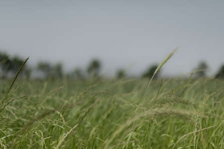 Italian landascape. Field of forage