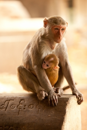 Mother and baby monkies looking on