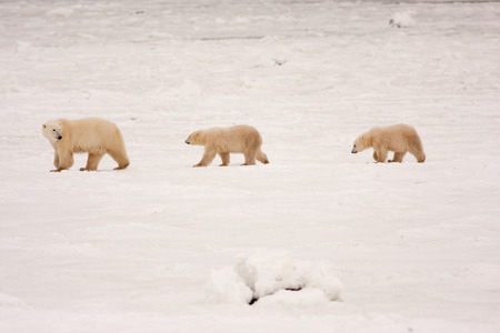 Mother Polar Bear and Two Cubs Walking in a Line in Natural Snowy Habitat