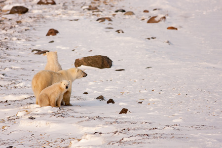 Polar Bear Mother and Two Cubs Surveying Area in Natural Wilderness Habitat