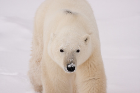Close Up of Adult Polar Bear Walking in Snow Towards Camera Stock Photo