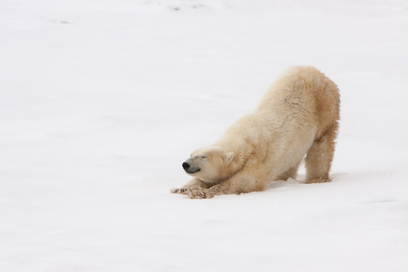 Full Length of Adult Polar Bear Stretching in Natural Snowy Habitat