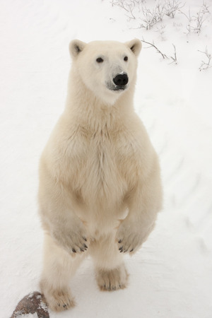Close Up of Adult Polar Bear Standing on Hind Legs in Snowy Habitat