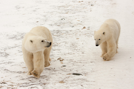 Two Polar Bears Walking Together in Snow and Looking Around