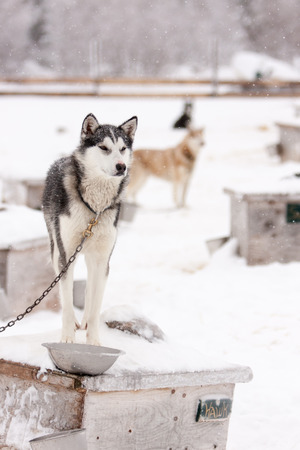 sled dogs: Chained Sled Dogs Standing on Roofs of Dog Houses Outdoors in Winter