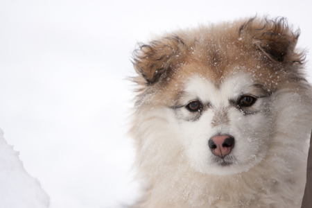 Close Up Portrait of Young Fluffy Dog Looking at Camera Outside in Snow Stock Photo