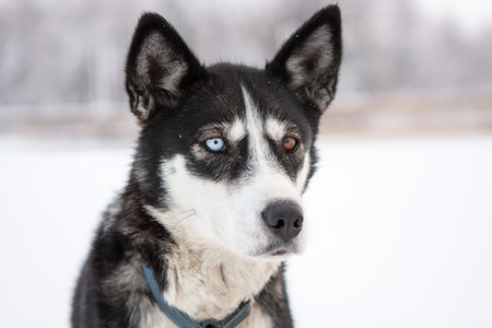 Close Up of Husky Type Sled Dog with Different Color Eyes Outside in Snow Stock Photo
