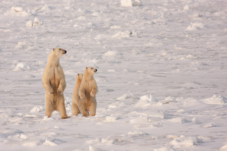 Polar Bear Mother and Two Cubs Standing on Hind Legs in Natural Wilderness Habitat