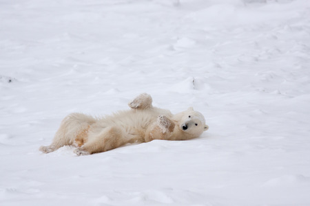 Adult Polar Bear Rolling in Snow while Looking at Camera in Natural Habitat