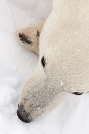 Close Up of Polar Bear Face Lying in Snow as seen from Above Stock Photo