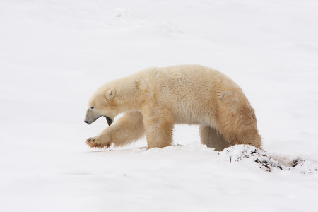 Profile of Polar Bear Walking in Snow with Mouth Open Yawning
