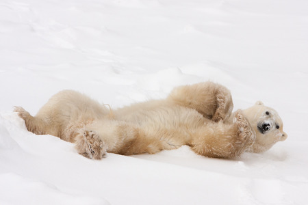 Adult Polar Bear Lying on Back and Rolling in Snow Stock Photo