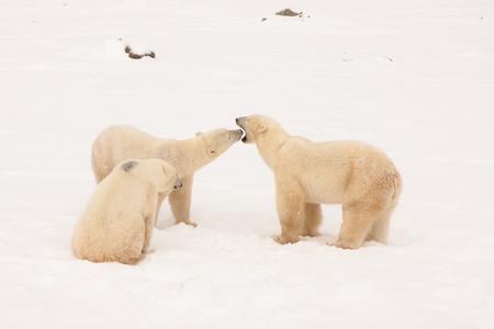 Mother Polar Bear Interacting with Two Cubs in Snowy Natural Habitat