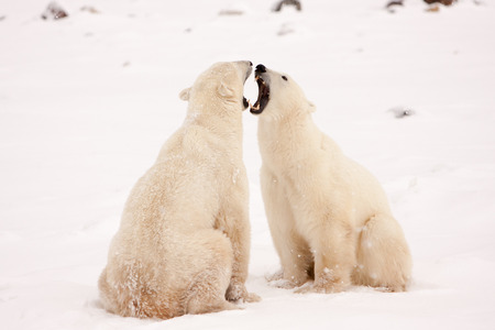Two Polar Bears Sitting Face to Face and Bearing Teeth in Aggressive Behaviour