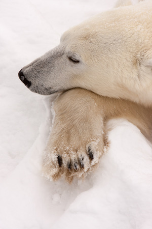 Close Up of Adult Polar Bear with Head Resting on Paw in Snow
