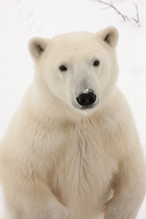 Close Up of Adult Polar Bear Standing on Hind Legs and Looking at Camera in Snowy Habitat Stock Photo