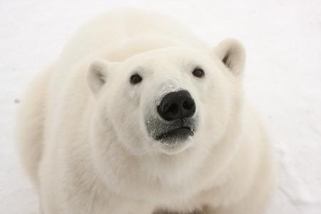 Close Up of Sitting Adult Polar Bear Looking at Camera