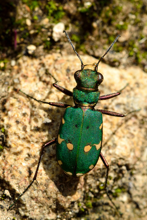 campestris: Green tiger beetle (Cicindela campestris). An impressive hunting ground beetle in the family Carabidae