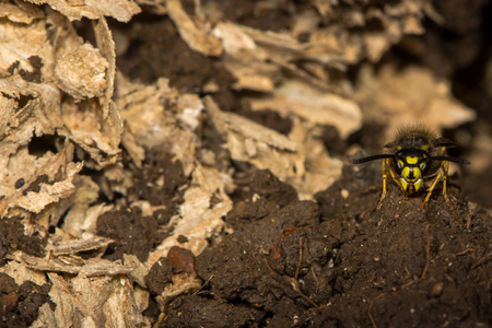 Common wasp (Vespula vulgaris) on guard by disturbed underground nest. A social wasp remains on guard outside a nest in an old mouse hole after the swarm has cleared Stock Photo