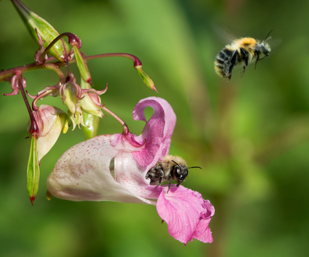 nectaring: Common carder bumblebees on Himalayan balsam. Bumblebee composite showing nectaring and flight from an invasive plant in the British countryside