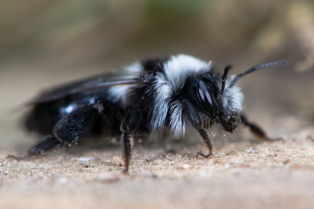Second generation ashy mining bee (Andrena cineria). Female insect in the family Andrenidae, showing long black and white hair and compound eye Stock Photo