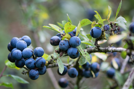 Sloe berries on blackthorn (Prunus spinosa). Thorny shrub in the rose family (Rosaceae) with cluster of ripe purple fruit in Autumn Stock Photo