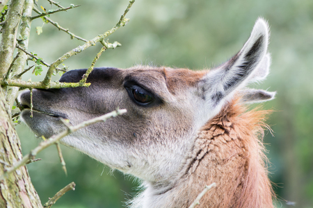 Llama grazing leaves from thorn bush. Domesticated camelid delicatly grazing leaves from hawthorn tree, avoiding thorns