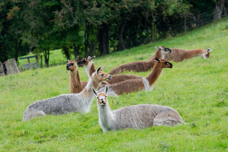 Herd of llamas sitting grazing in field. Domesticated camelids raised for wool, chewing cud and eating grass in British countryside Stock Photo