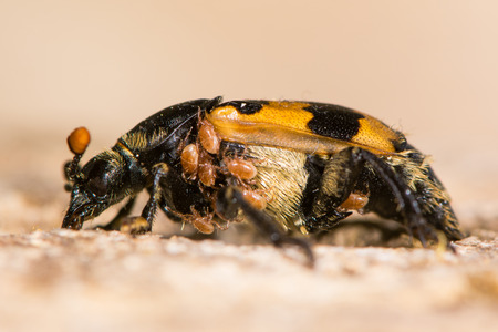 carrion: Nicrophorus vespillo burying beetle with mites. Orange and black carrion beetle in family Silphidae with load of phoretic mites around thorax and abdomen Stock Photo
