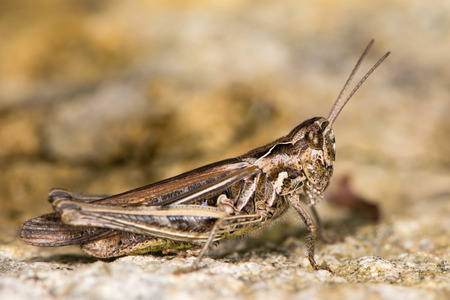 sharply: Field grasshopper (Chorthippus brunneus) fully-winged form. Macropterous insect in family Acrididae, in profile showing sharply incurved pronotal side-keels Stock Photo