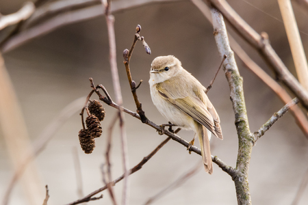 bird song: Willow warbler (Phylloscopus trochilus) on alder. Small bird in family Sylviidae perched on Alnus on wetland reserve in Cardiff, Wales, UK