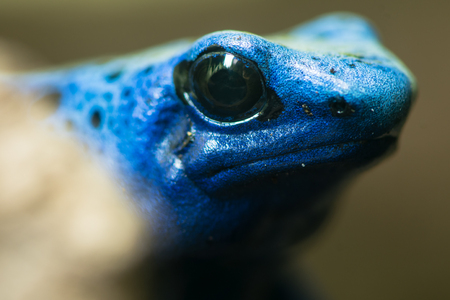 Blue poison dart frog (Dendrobates tinctorius azureus). Head and eyes of amphibian aka blue poison arrow frog, native to Suriname, in family Dendrobatidae Stock Photo