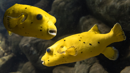two faced: Blackspotted puffer (Arothron nigropunctatus). Composite image of two marine fish belonging to the family Tetraodontidae, aka dog-faced puffer Stock Photo