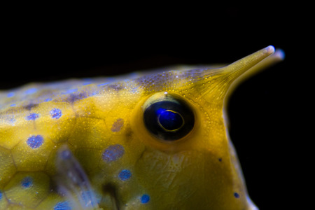 indo: Longhorn cowfish (Lactoria cornuta) head and horns. Detail of Indo-Pacific reef fish in family Ostraciidae, aka horned boxfish