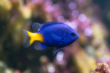 indopacific: Yellowtail damselfish (Chrysiptera parasema). Popular saltwater aquarium fish from the Indo-Pacific in the family Pomacentridae, aka yellowtail blue damsel and goldtail demoiselle Stock Photo
