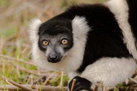 Black-and-white ruffed lemur (Varecia variegata) on ground. Critically endangered lemur endemic to the island of Madagascar, and the largest extant member of the family Stock Photo