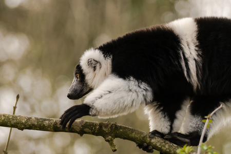 Black-and-white ruffed lemur (Varecia variegata) climbing. Critically endangered lemur endemic to the island of Madagascar, and the largest extant member of the family Stock Photo