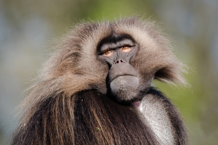 Male gelada (Theropithecus gelada). Portrait of old world monkey, endemic to the Ethiopian Highlands, closely related to baboons Stock Photo