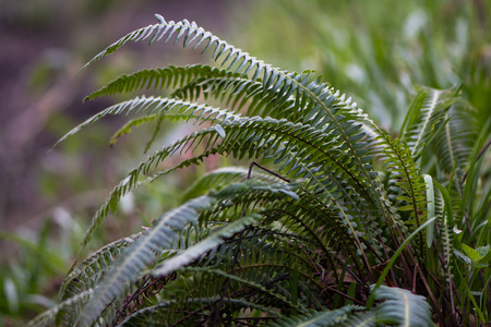 Fern in the family Blechnaceae growing in moist woodland at Oysters Coppice nature reserve, in Wiltshire, UK Stock Photo