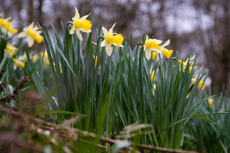 Native daffodil, aka lent lily, in flower in Oysters Coppice woodland, in Wiltshire, UK
