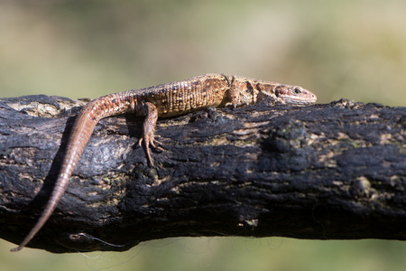 lacertidae: Viviparous lizard (Zootoca vivipara) on burnt gorse. A lizard in the family Lacertidae sunbathing on branch on Dartmoor, Devon, UK.