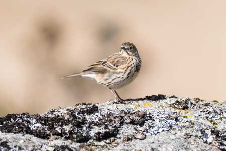 motacillidae: Meadow pipit (Anthus pratensis) on rock head on. Small brown songbird in the family Motacillidae, perched on rock in Dartmoor Narional Park, Devon, UK