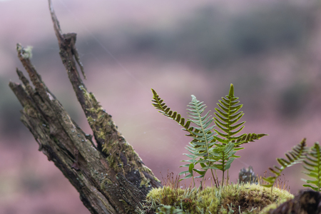 Polypody (Polypodium vulgare) and moss on branch. Fronds of true fern in the family Polypodiaceae, also known as rockcap fern, showing sori and sporangia on underside Stock Photo