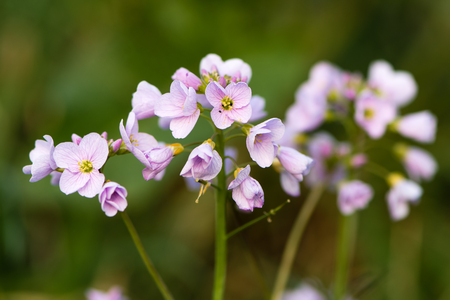Cuckooflower or ladys smock (Cardamine pratensis) flower spikes. Perennial plant in the cabbage family (Brassicaceae), flowering in Spring in the UK