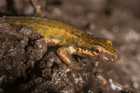 newt: Smooth newt (Lissotriton vulgaris) close up in mud. Adult amphibian in the family Salamandridae walking over land through wet soil