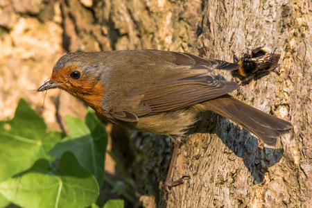 redbreast: Robin (Erithacus rubecula) with prey in beak. Bird in family Turdidae, gripping tree trunk with Opilionid prey and bumblebee (Bombus terrestris_