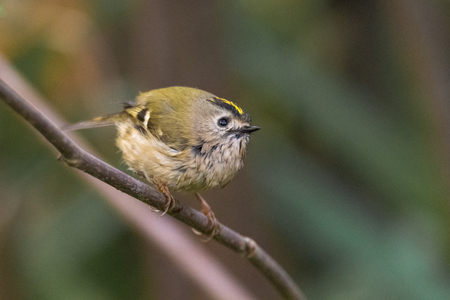 Goldcrest (Regulus regulus) perched on branch. Britains smallest bird, in the family Sylviidae, wet after splashing in stream Stock Photo